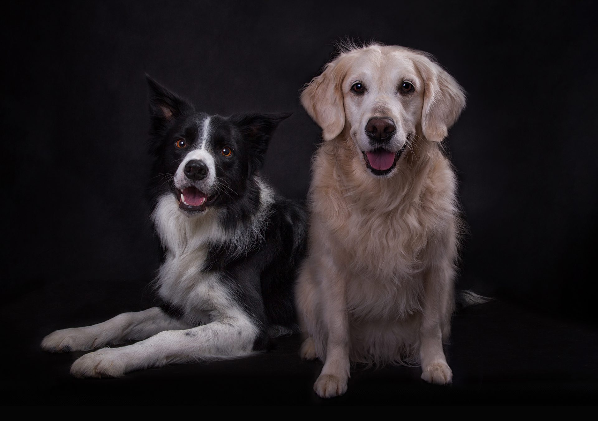 border collie and golden retriever dogs in studio