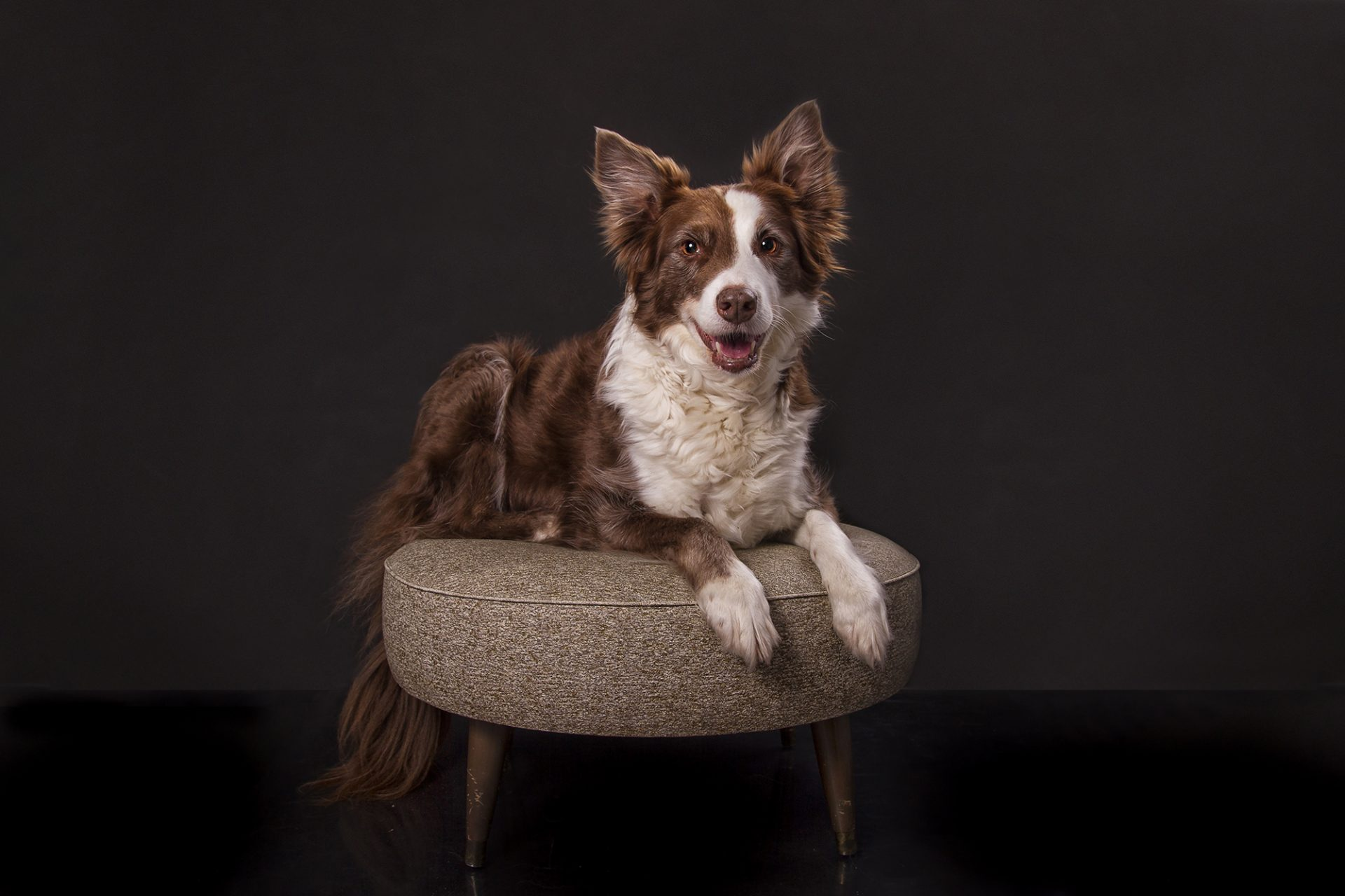 border collie in studio