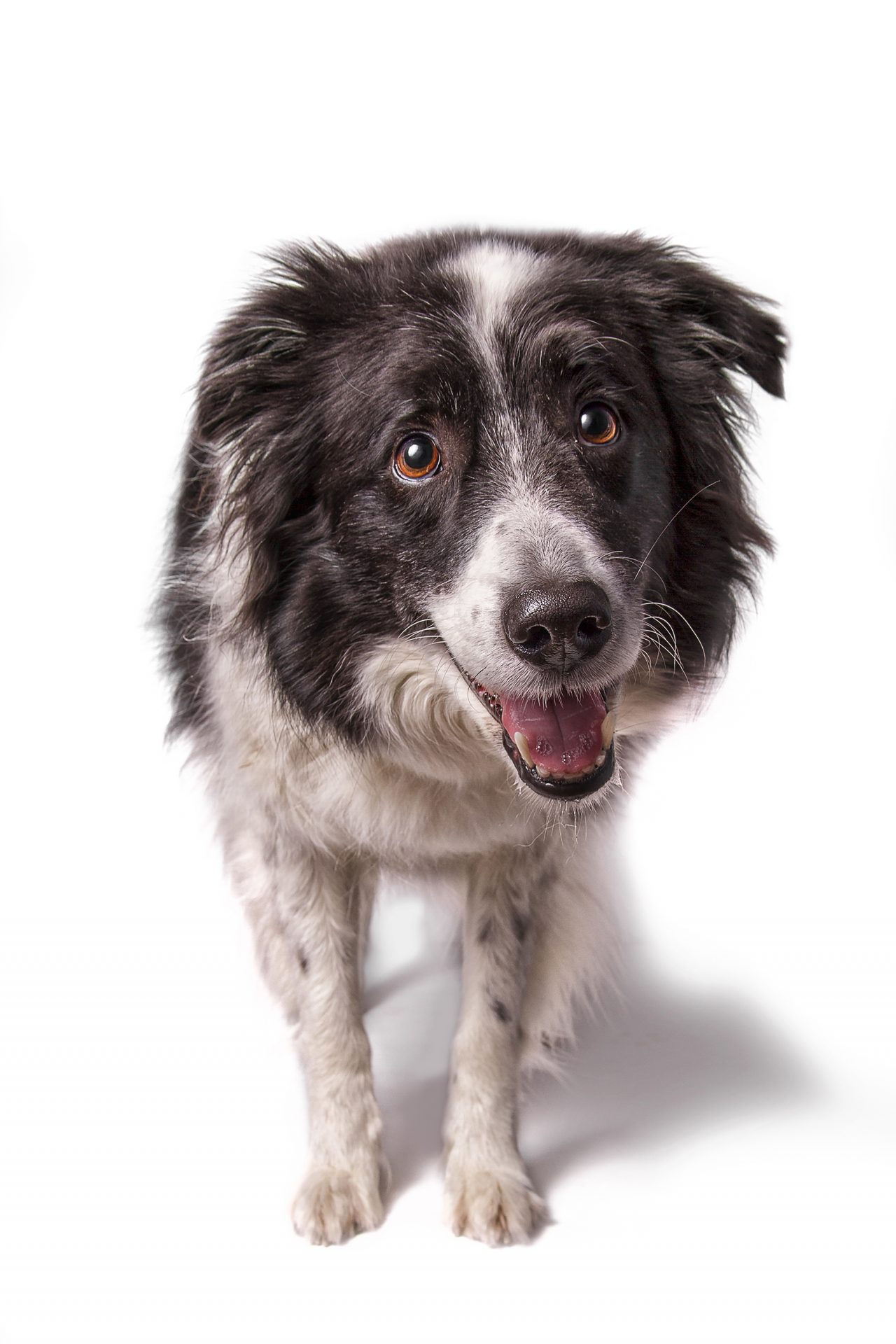 border collie australian shepherd in studio