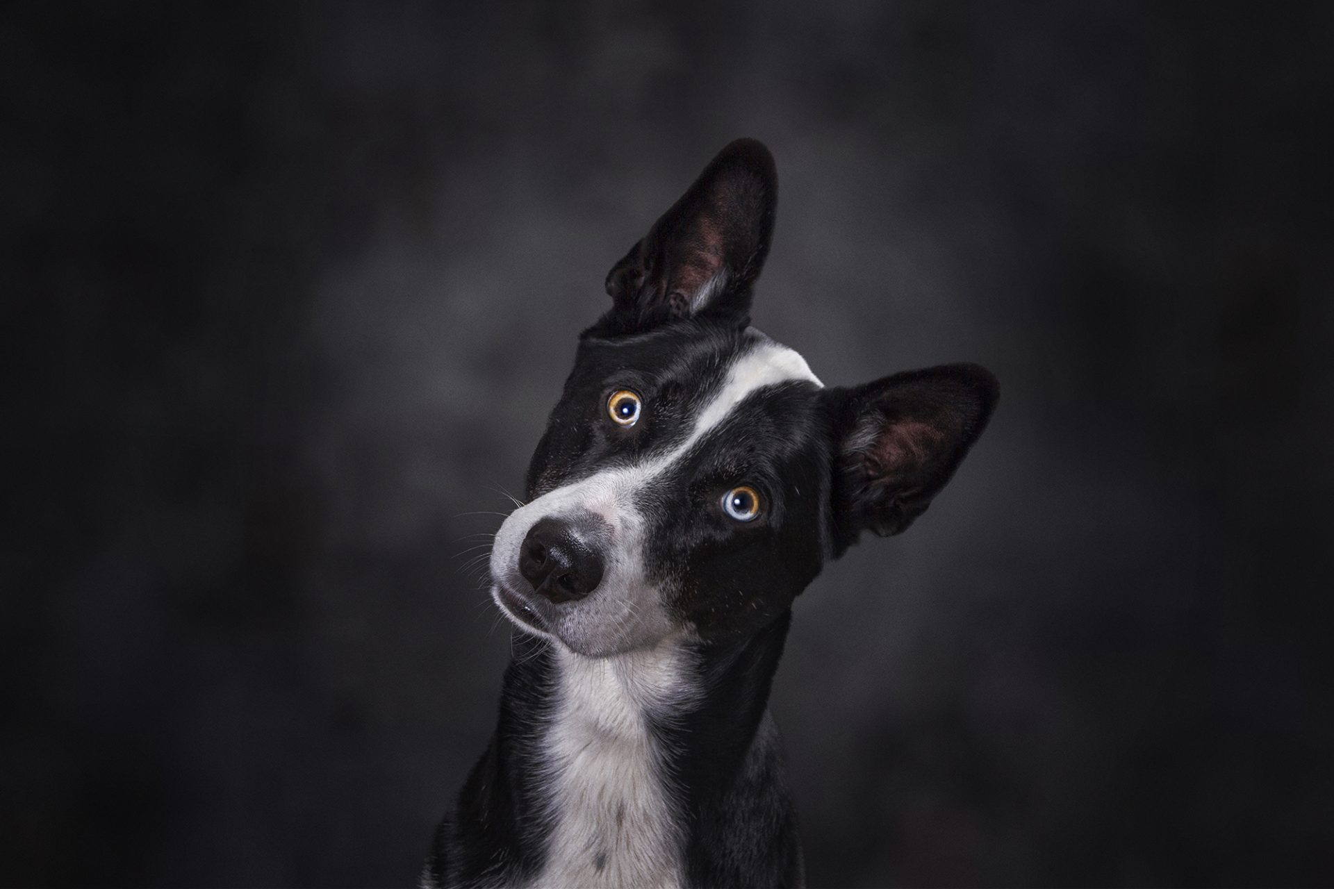 studio portrait of mixed breed black and white dog with strange eyes