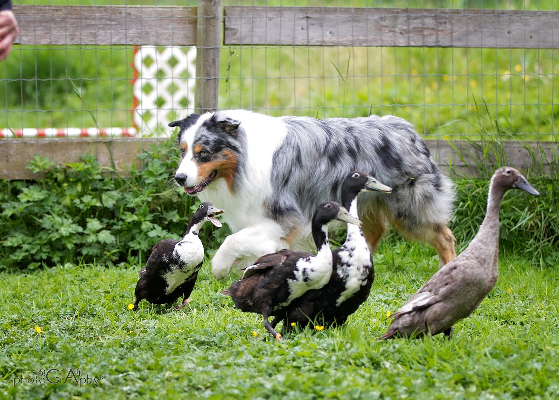 Australian Shepherd dog working herding ducks