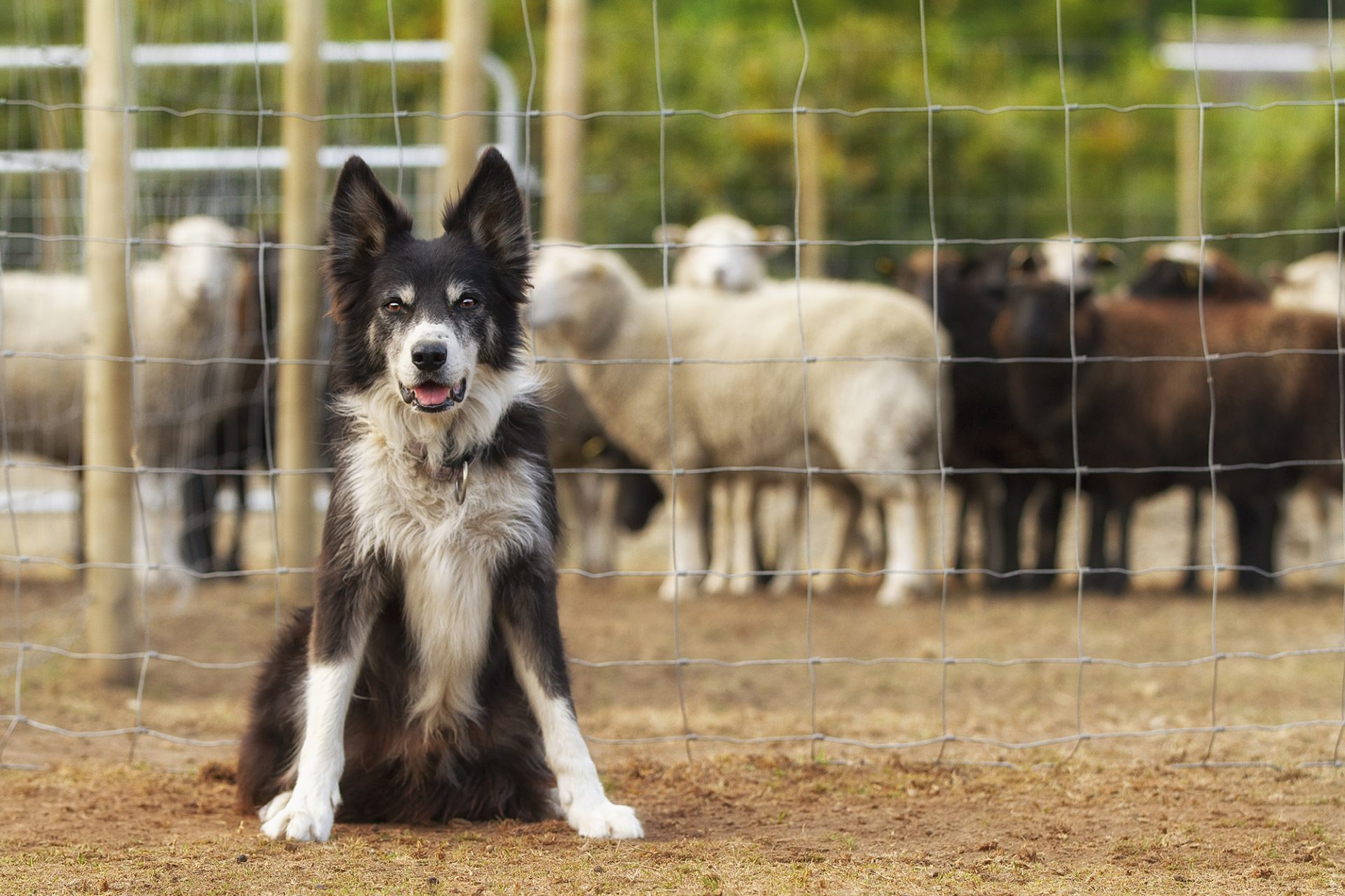 border collie dog working herding sheep