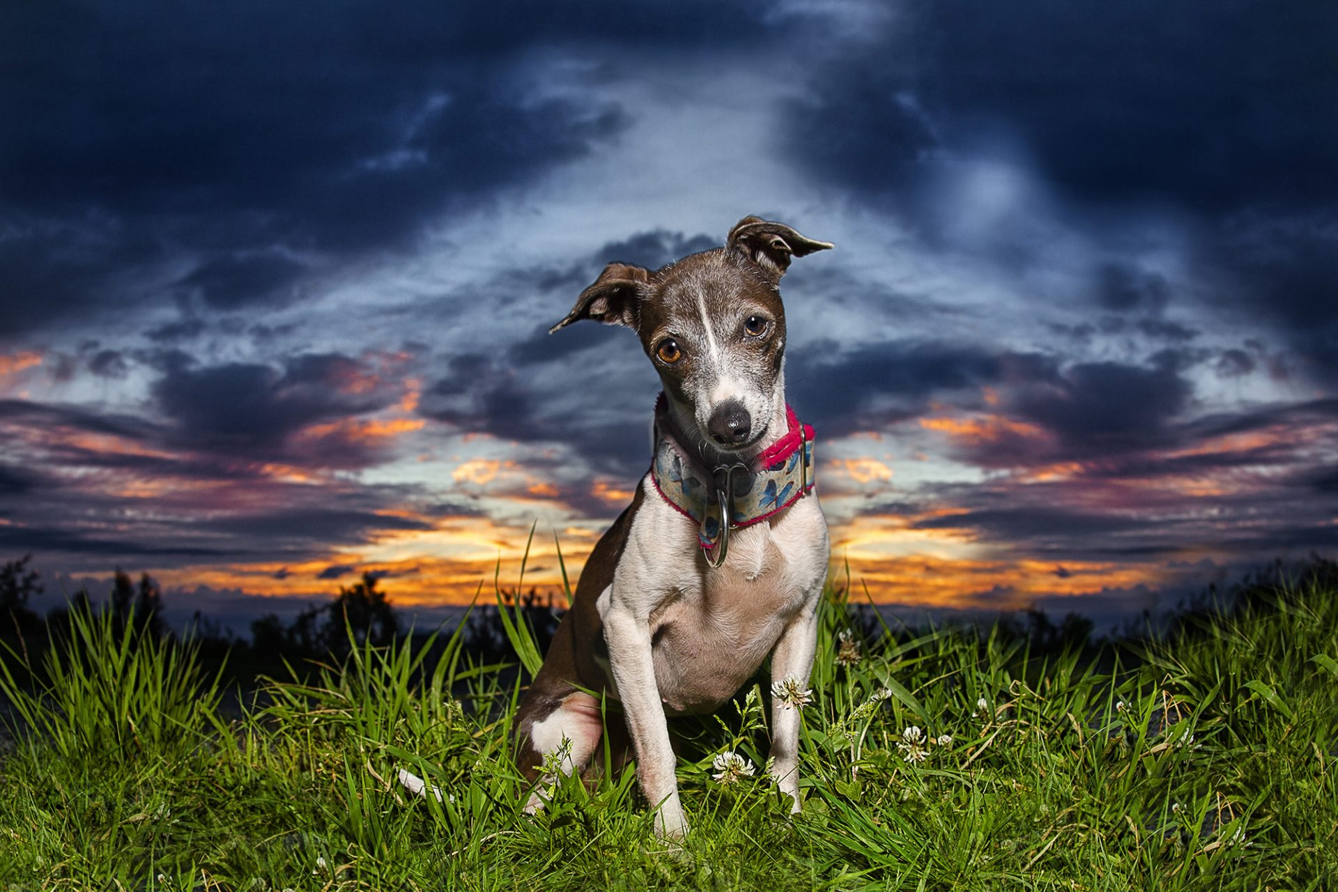 Italian Greyhound dog in beautiful sunset