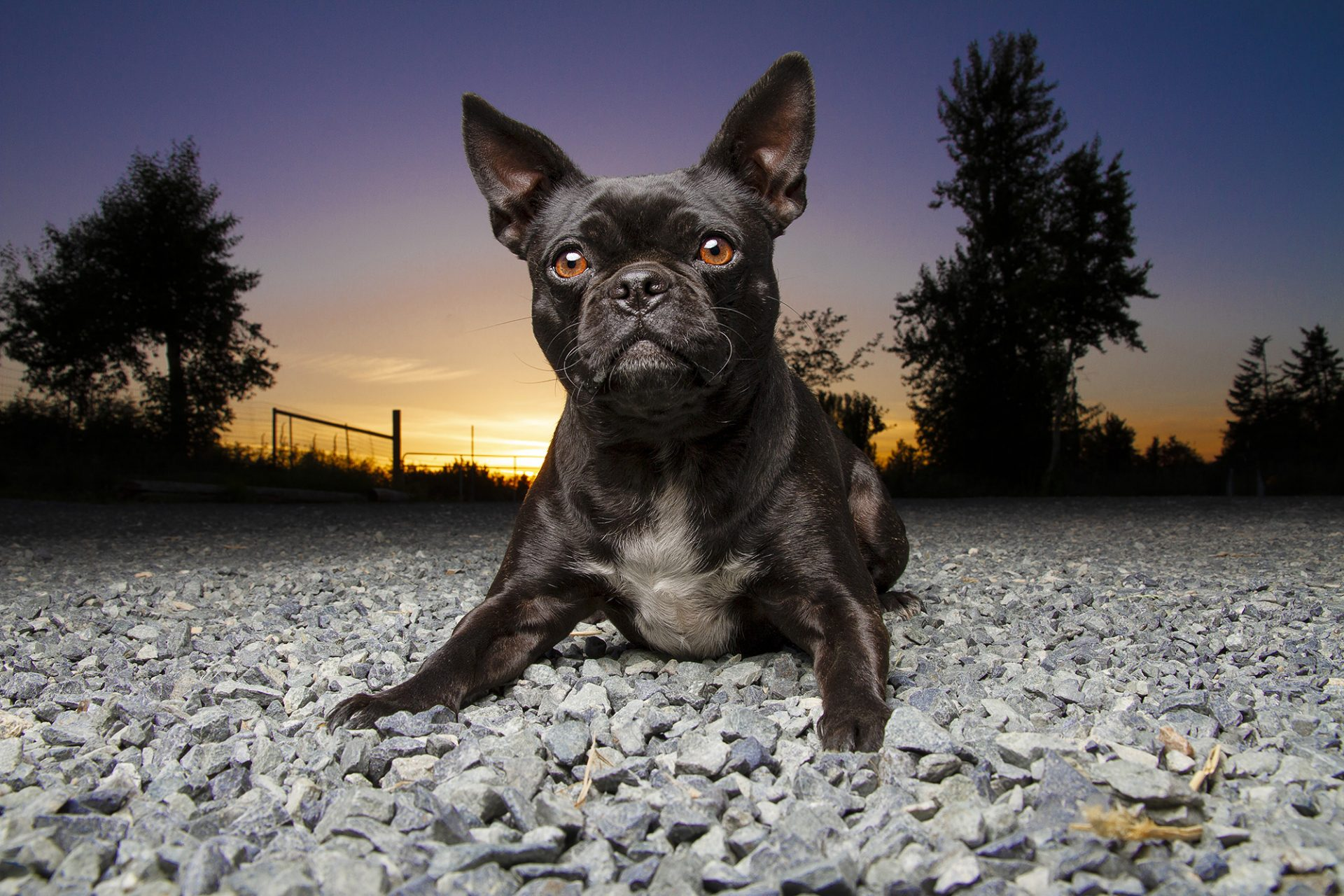 Boston terrier french bulldog dog in beautiful sunset