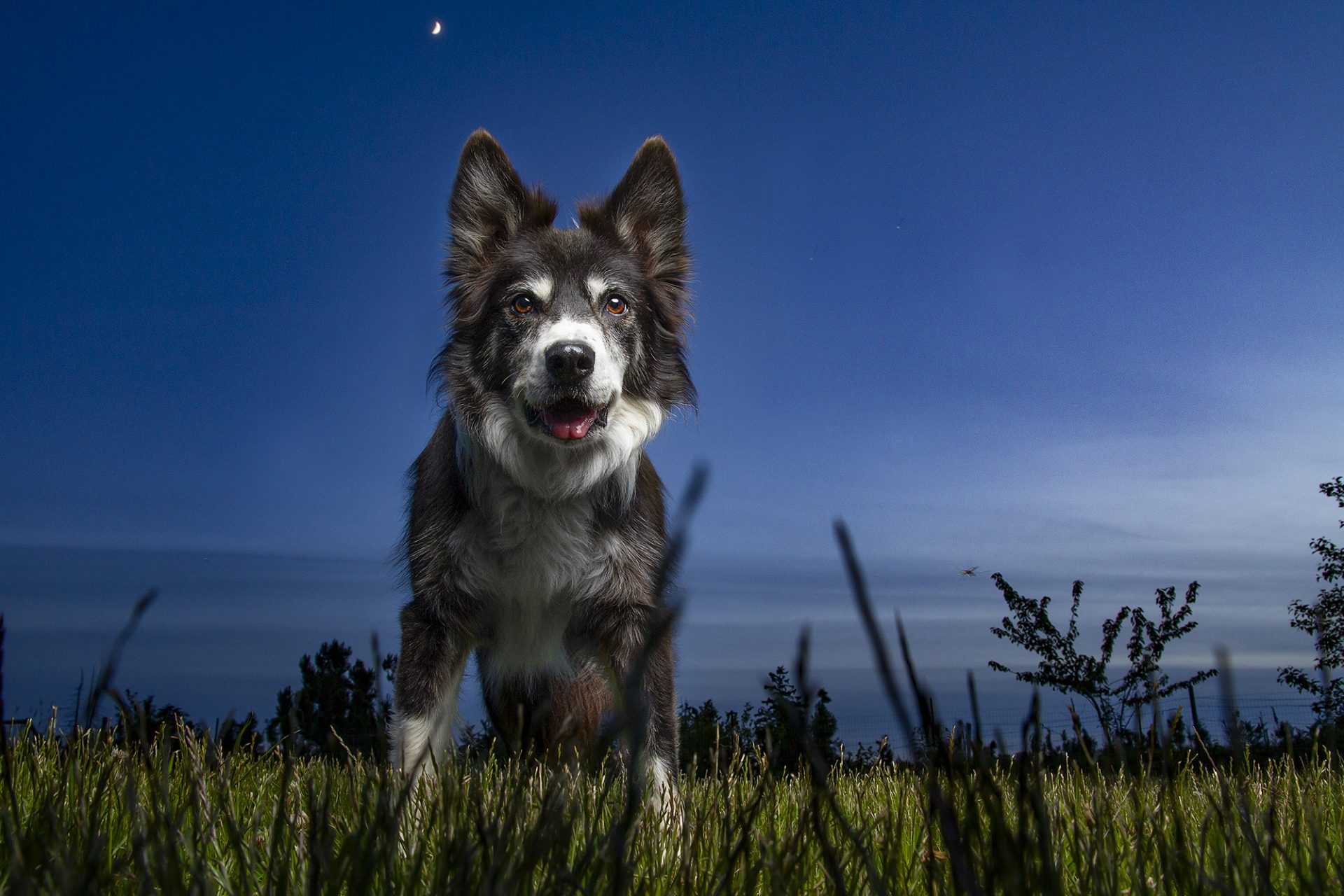 Border Collie Dog in moonlight