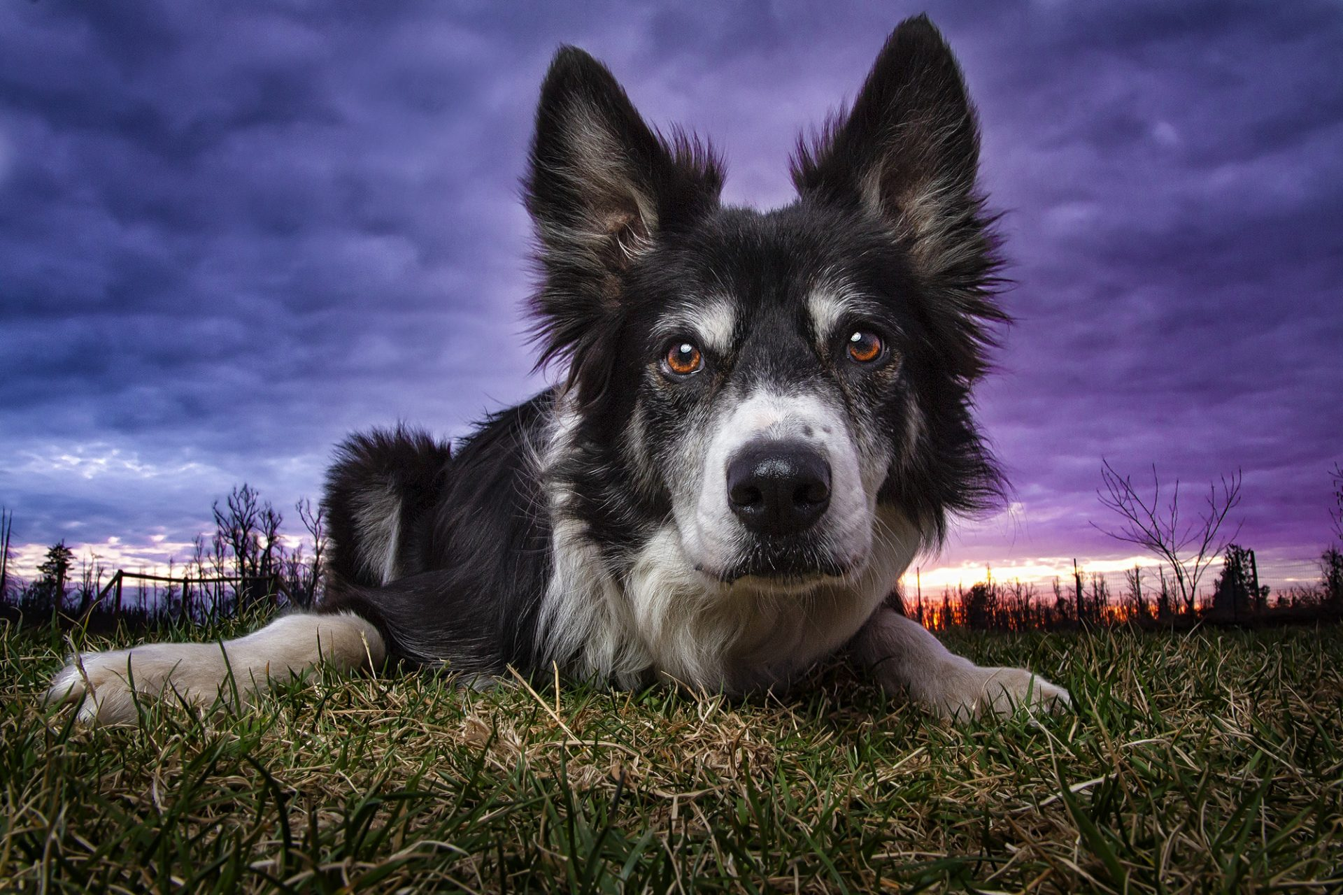 Border Collie dog in beautiful sunset