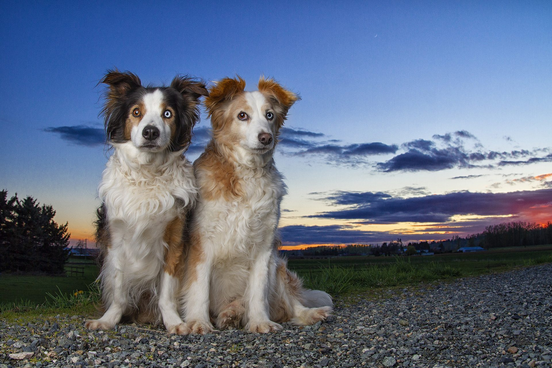 Australian Shepherd dogs in beautiful sunset