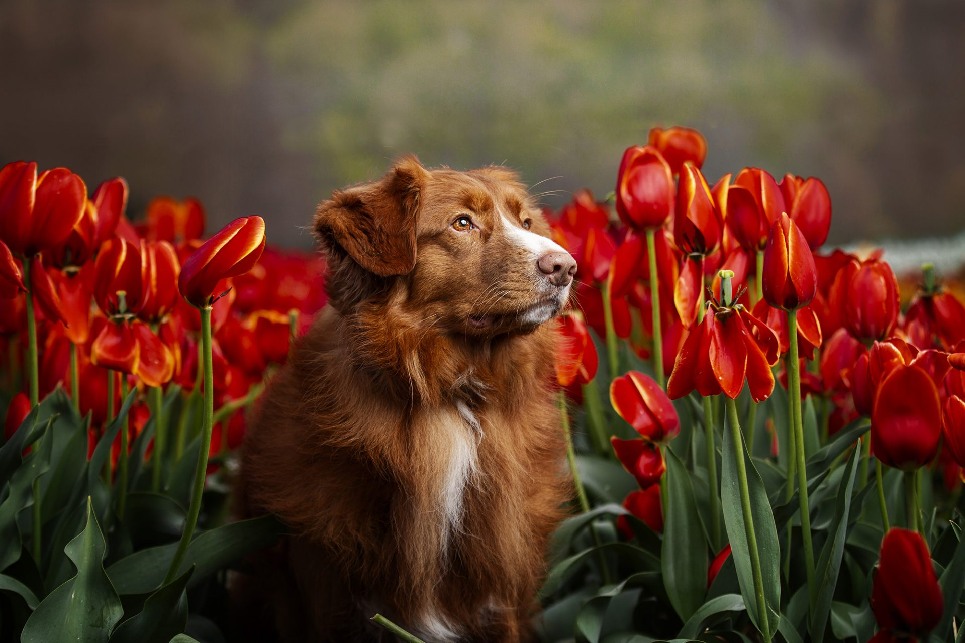 Nova Soctia Duck Tolling Retriever in tulips