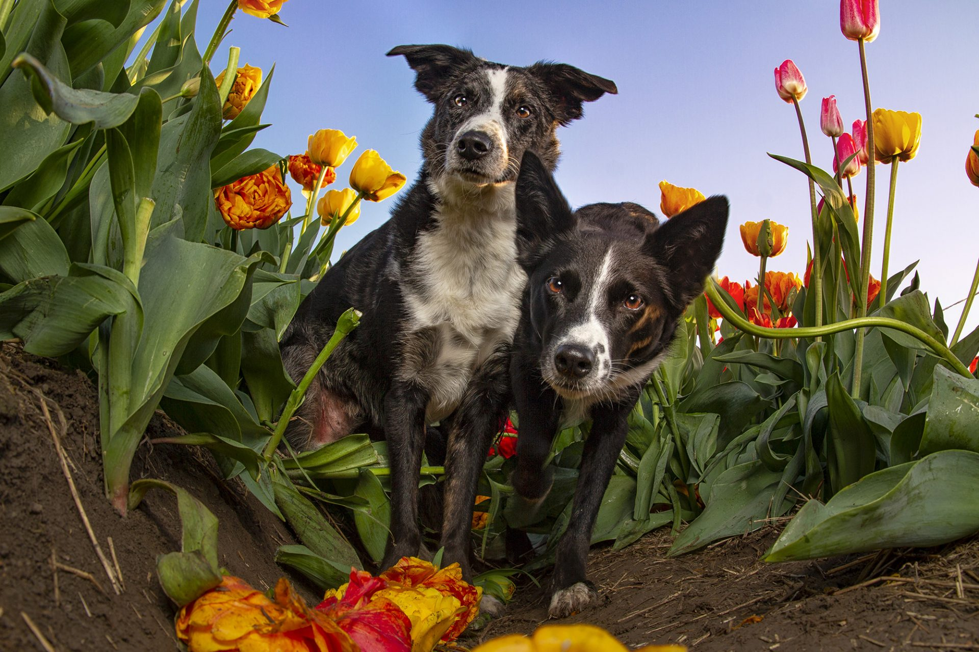 German Koolies in tulips