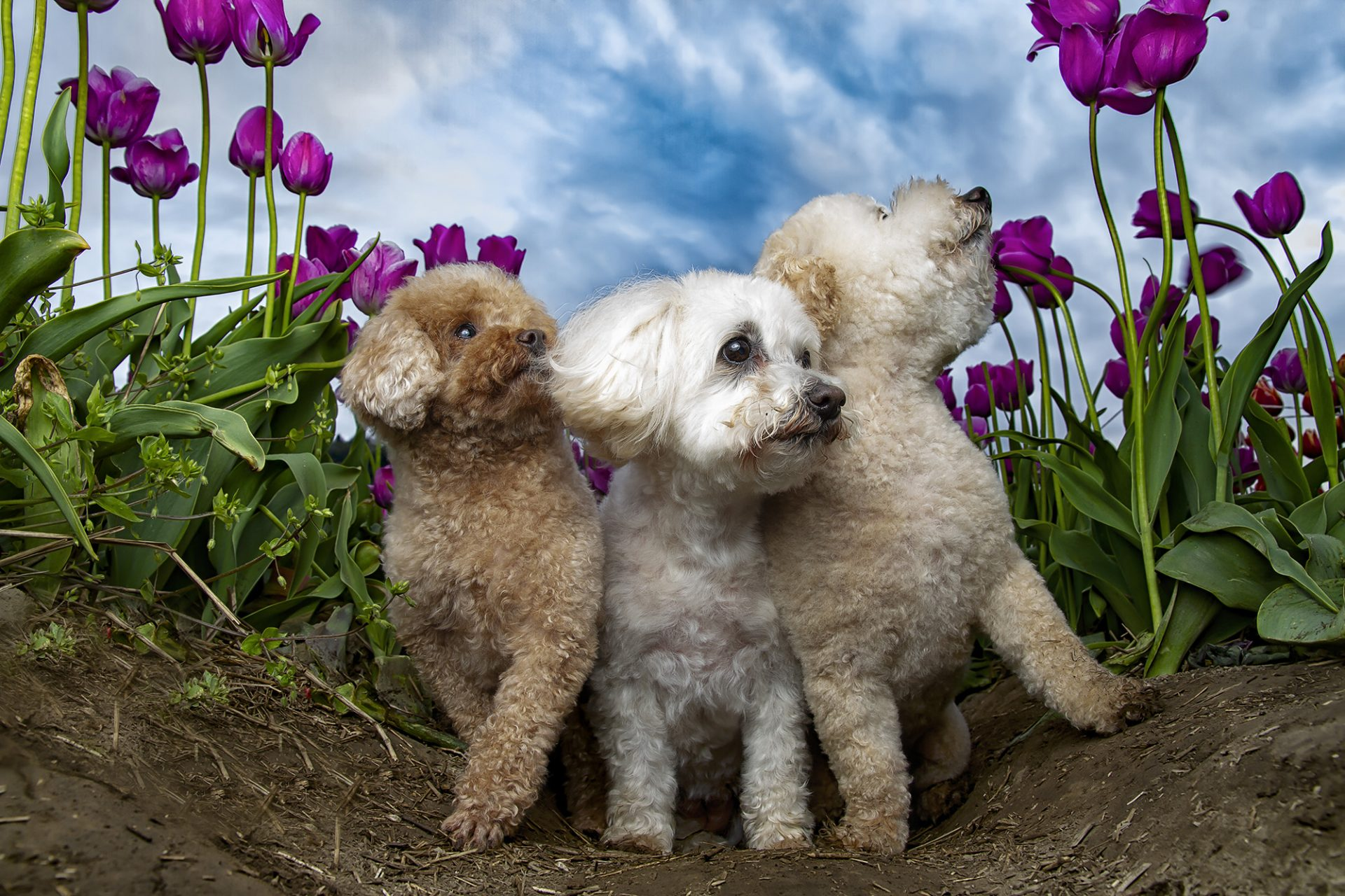 Miniature poodle, bichon frise and maltese dogs in tulips