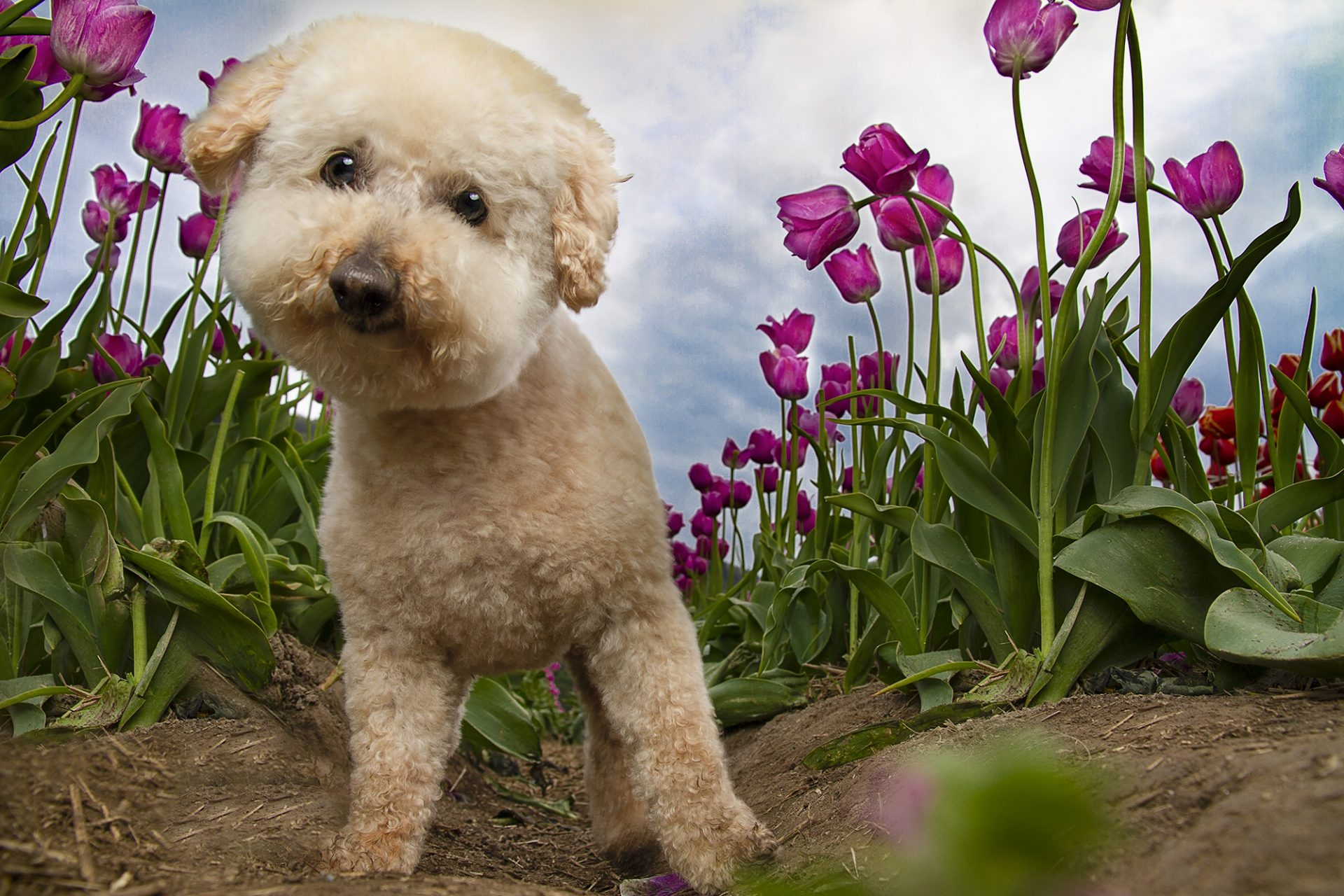 Bichon Frise dog in tulips