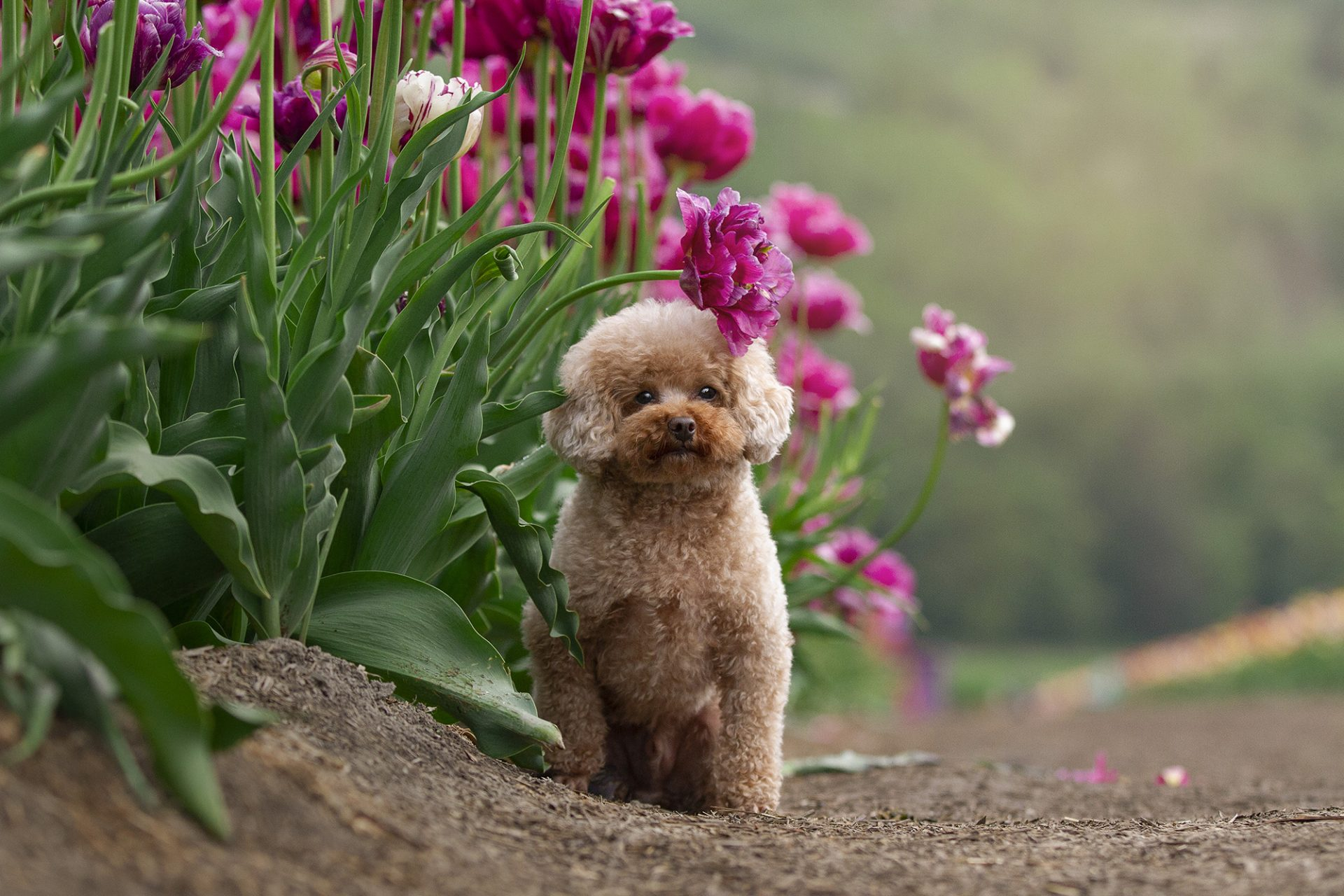 Miniature Poodle in tulips