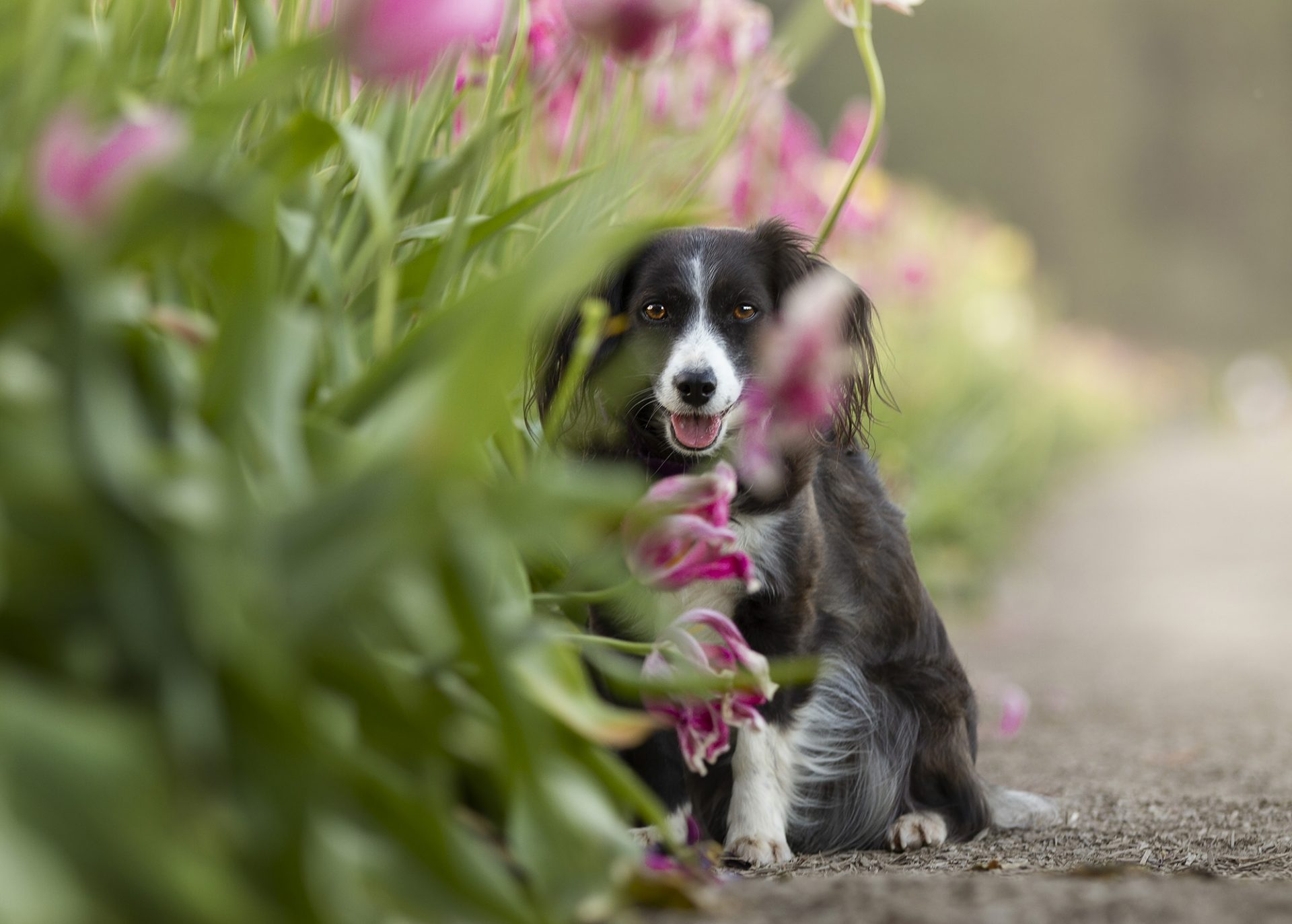 Small mixed breed dogs in tulips