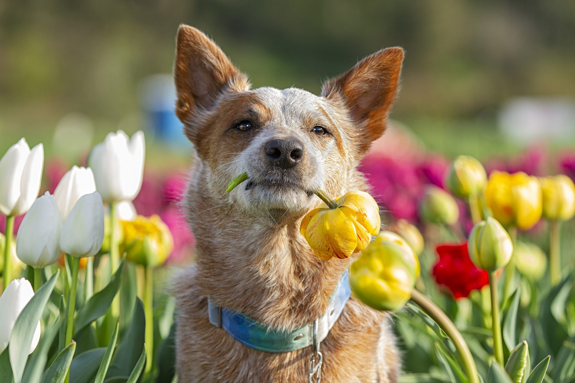 Australian Cattle Dog in tulips