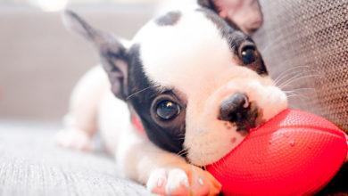 Photo of Cinco curiosidades que no conocías de los cachorros