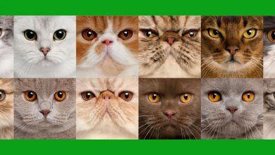 Photo of ¡Conoce las razas de gatos más populares del mundo!