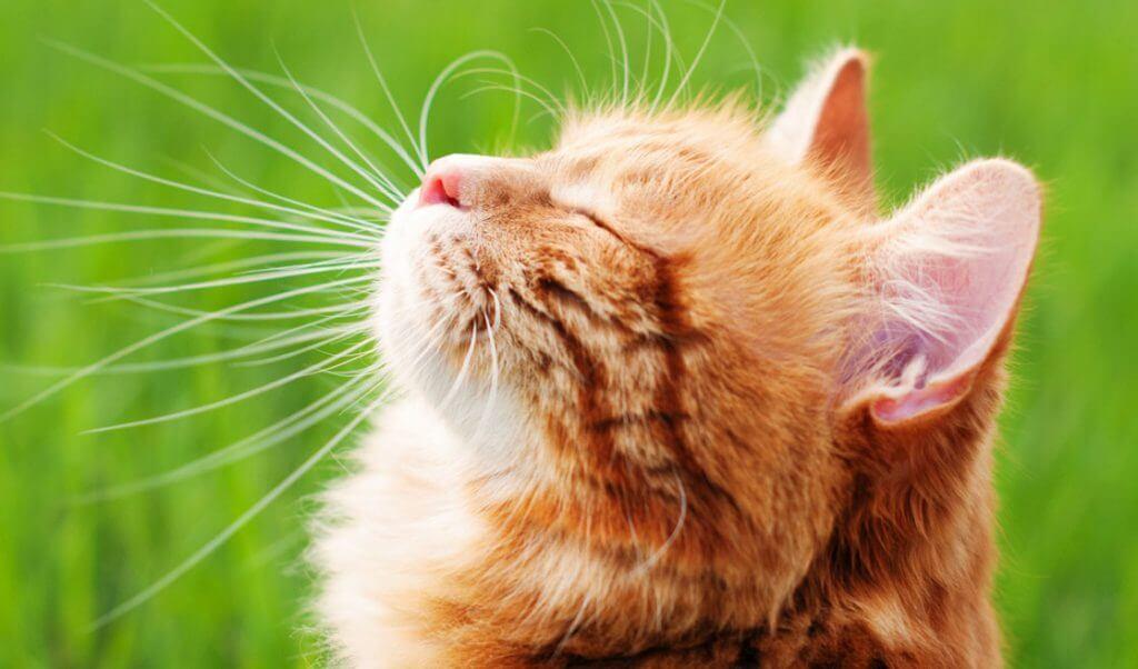 parásitos comunes en gatos