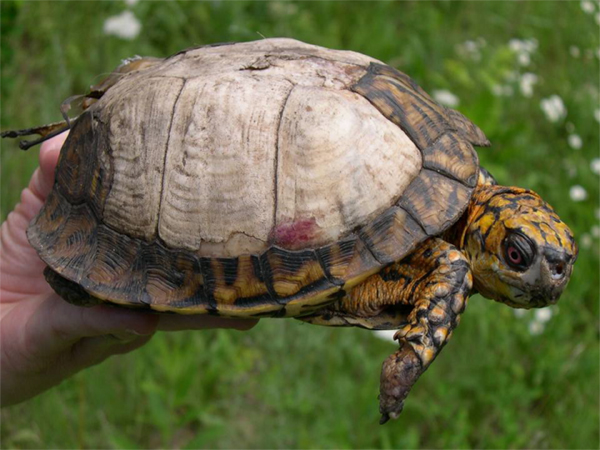 Burned turtle from prescribed burns in forest.