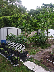 Garden with fruits and vegetables that Anthony grows as part of his business project.