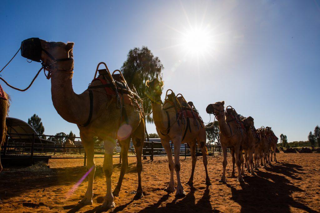 Australia - Uluru - Camel Tours