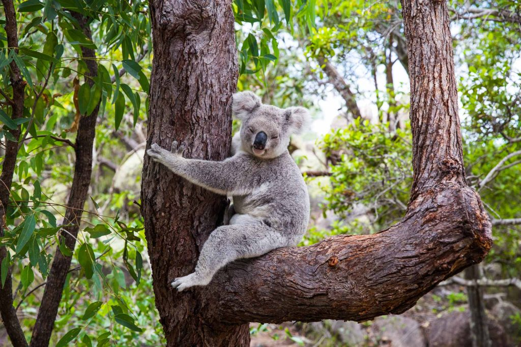 BlueSkyTraveler.Australia.Koala_