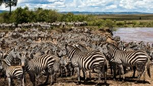 Africa - Kenya - Zebra Migration