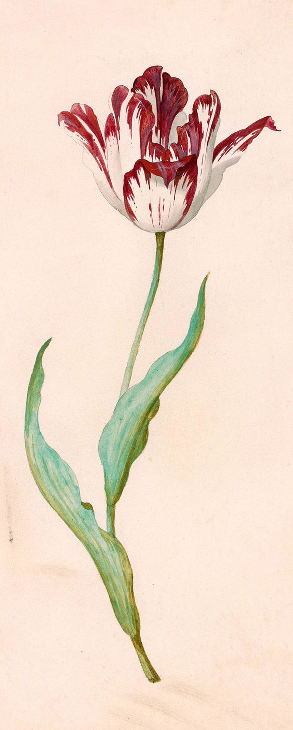 A tulip is like a young girl