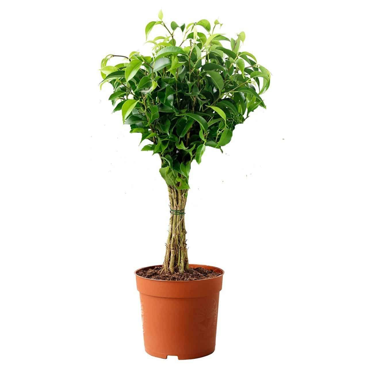 Weeping fig houseplant purify air