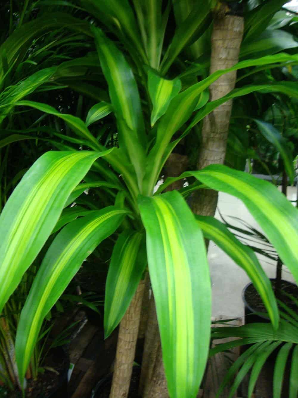 cornstalk dracaena for your houseplants