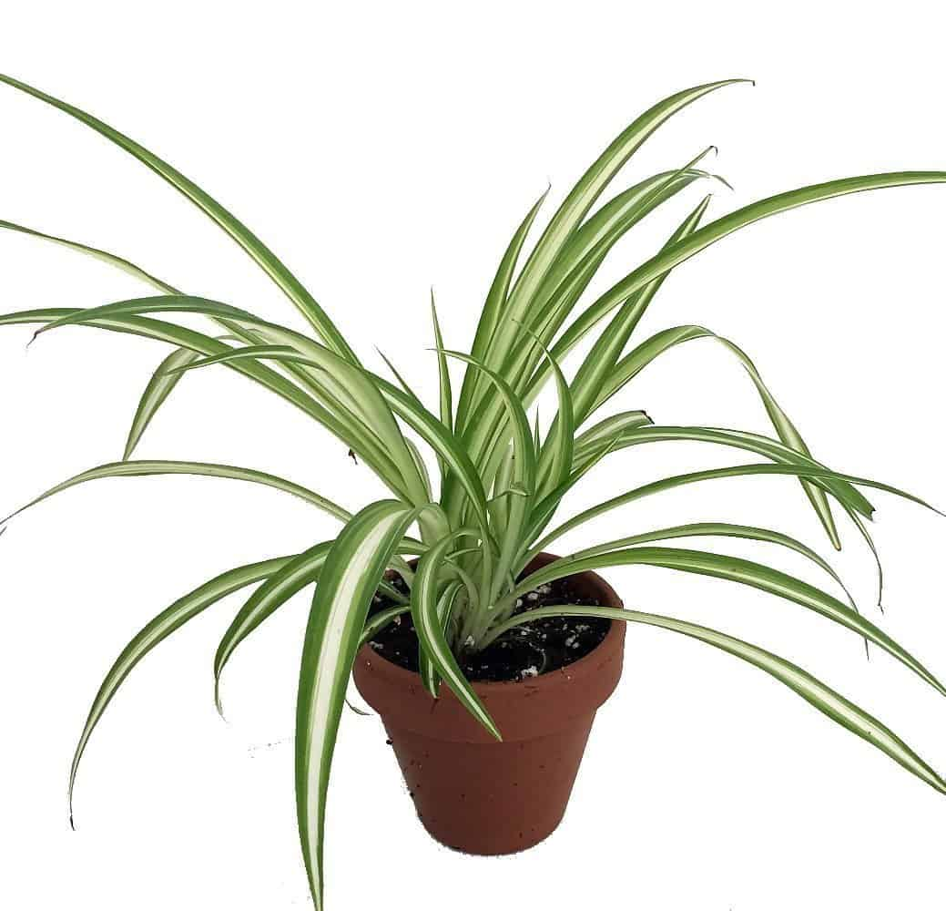 Growing A Spider Plant: 12 Amazing Looking Air Purifying Plants You Need In Your Home