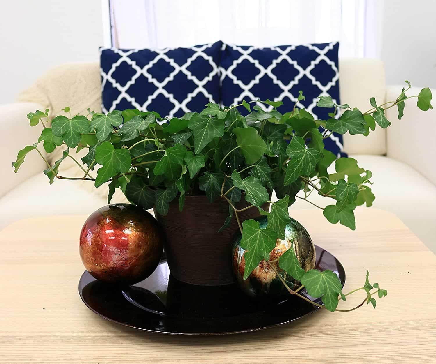 English ivy for air purification