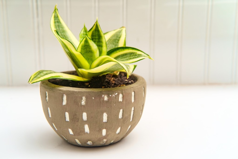 Decorative green Hosta houseplant with stone pot