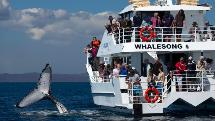 Whale Watching Tour - Half Day Cruise - Hervey Bay