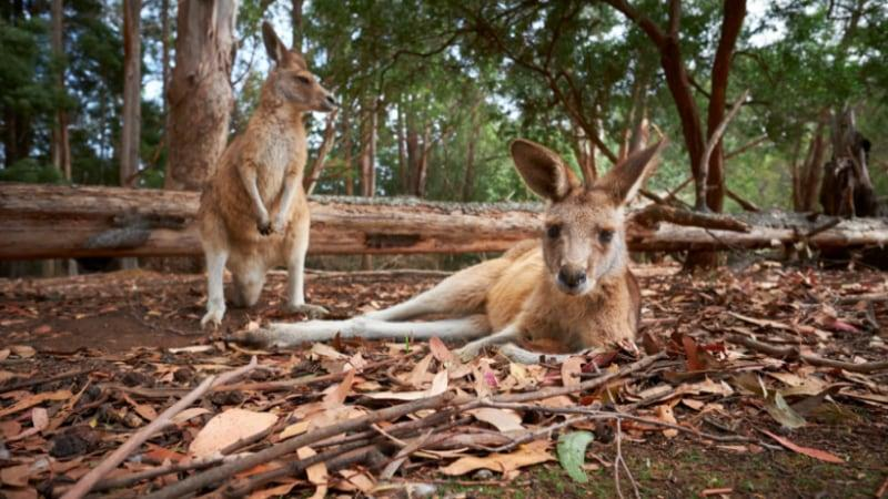 "Experience the ""Unzoo"" a ground-breaking ""zoo without cages"". See wild wallabies, echidnas, possums, native fish and nearly 100 bird species living around the spectacular Unzoo bush garden just a one-hour drive from Hobart."
