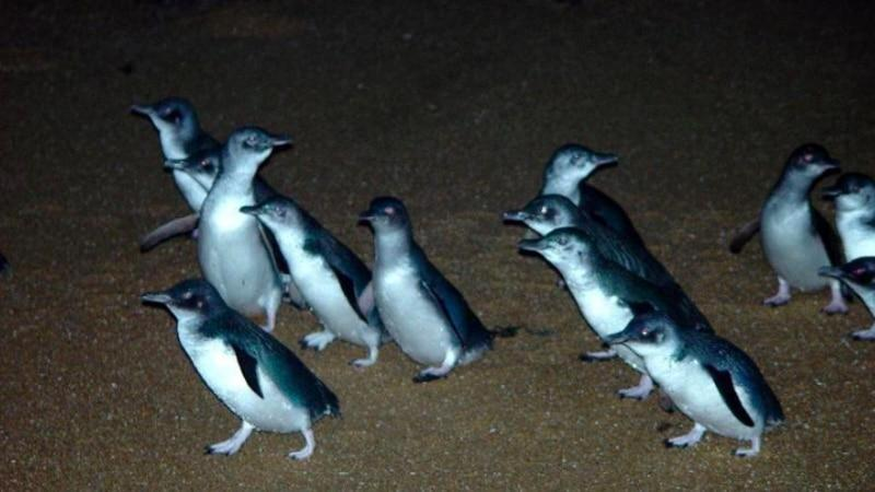 Join in on an insightful penguin watching tour at Low Head in Tasmania, offering a captivating insight into Little Penguins making their nightly journey to their burrows...