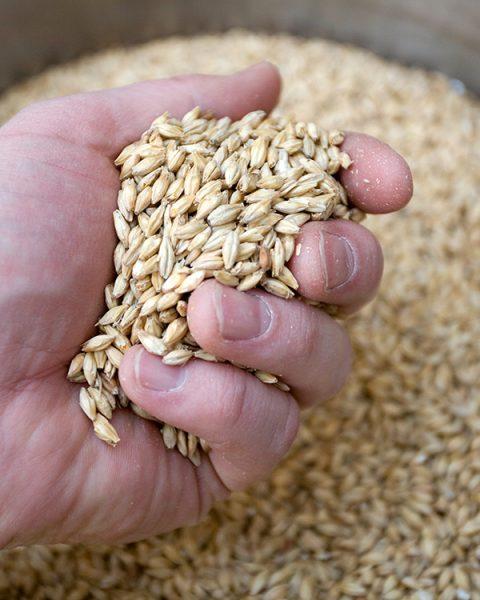 The Evolution of Barley, Malt, and Beer Flavor | Brewers Association