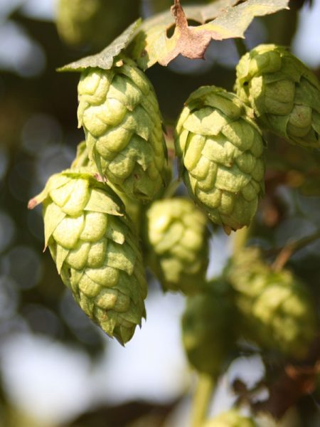 hop breeding program