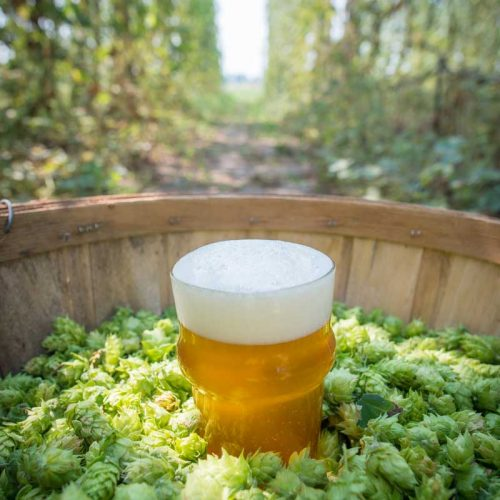 Public Hop Breeding Program Moves Forward