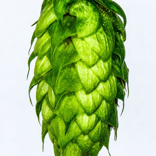 New hop varieties