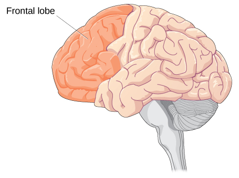 An illustration of a brain is shown with the frontal lobe labeled.