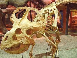 Protoceratops-skeleton.jpg