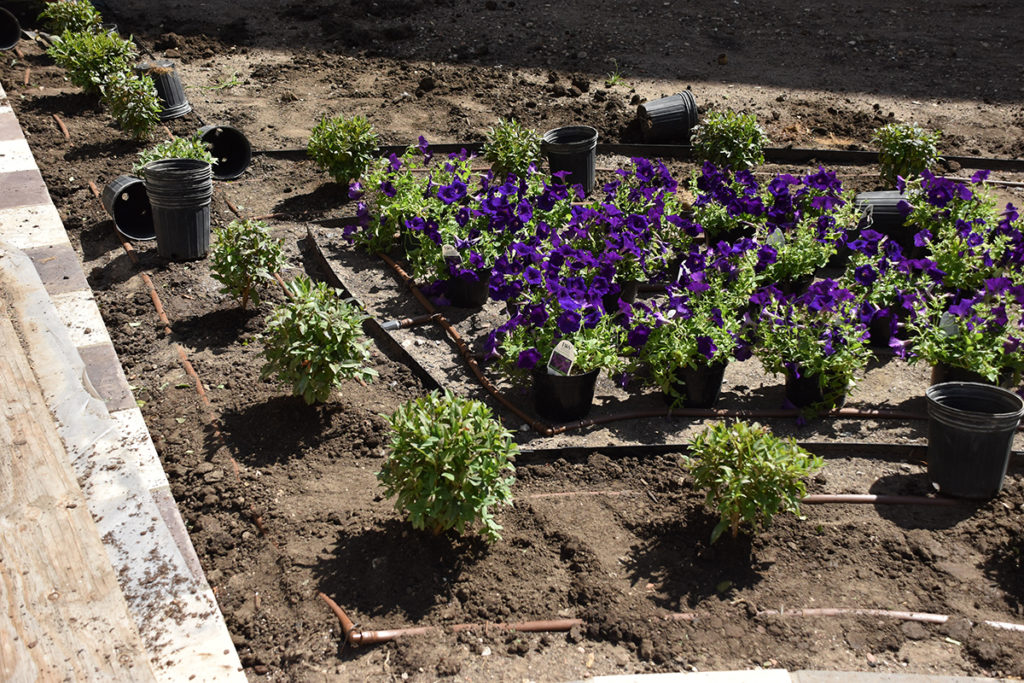Privit hedge planted with petunias waiting