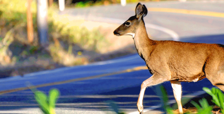 Deer_2018_1170w