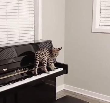 CatSynth Video: Savannah Cat on Piano - CatSynth