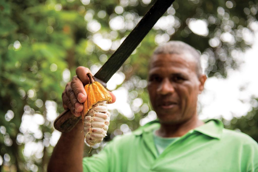 A mature cacao pod split by a machete reveals 30 to 50 beans that are encased in a milky white pulp.