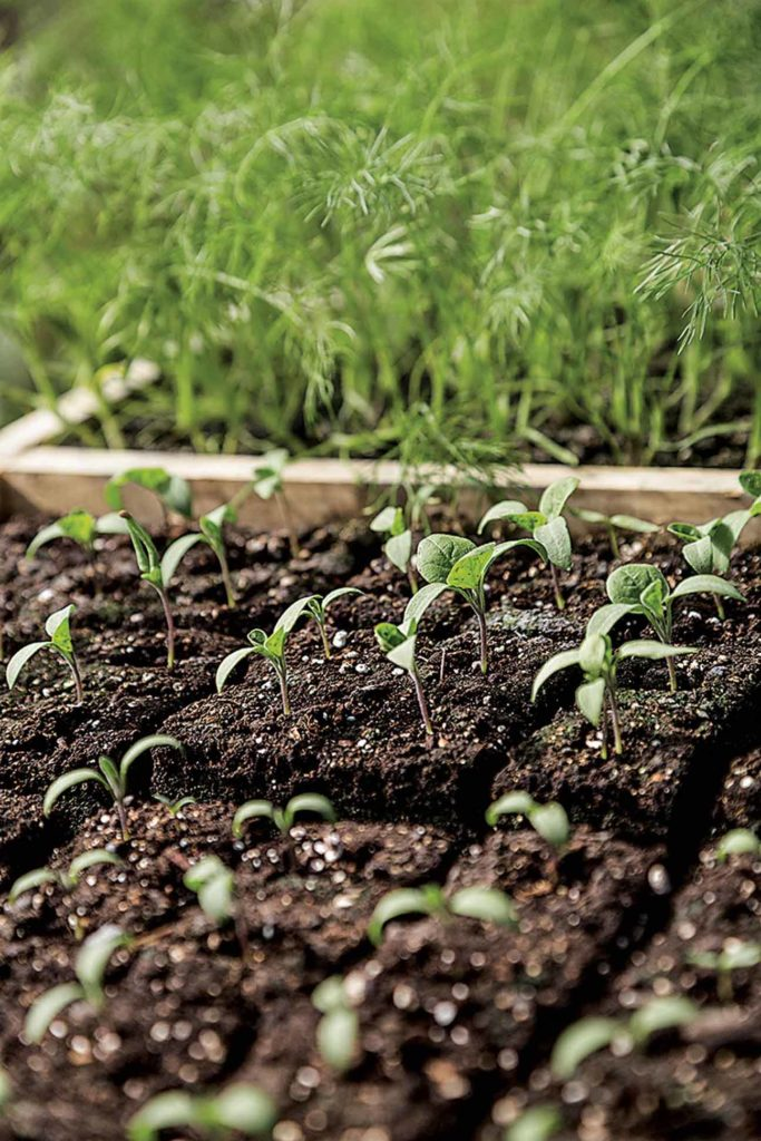 Many vegetable varieties start life in the greenhouse and are later transplanted to grow in the field.