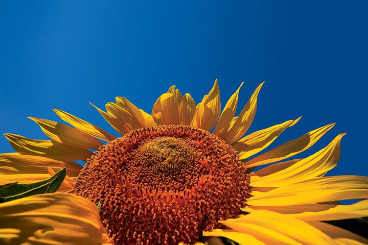 Sunflower_TOP_Web