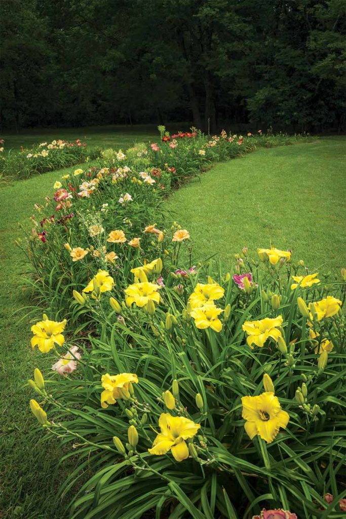 Daylilies look good in groups, but gardener Oliver Billingslea includes companion plants with them so something is blooming even when the daylily isn't.