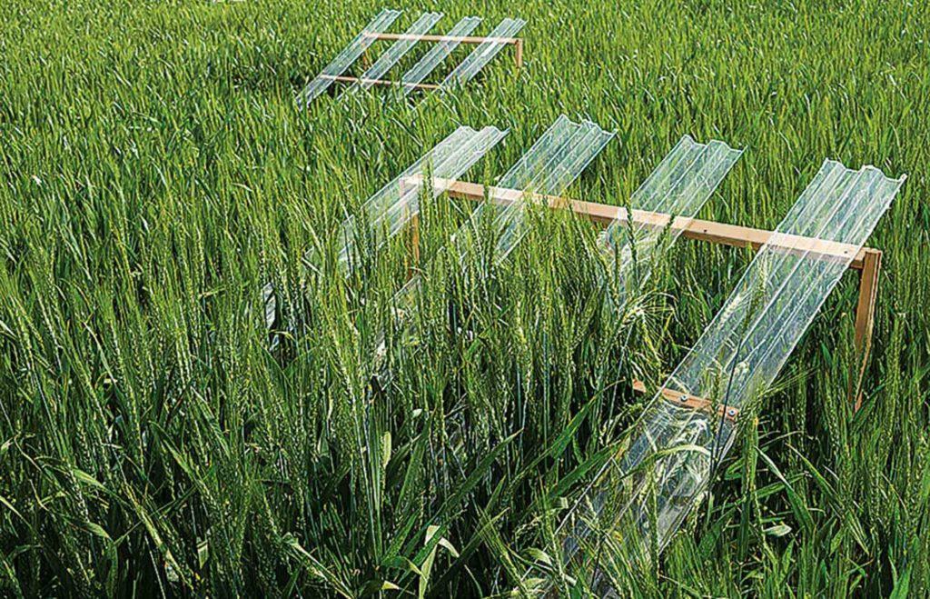 Rain shields allow researchers to simulate the impacts of decreased precipitation on the wheat-pest balance.