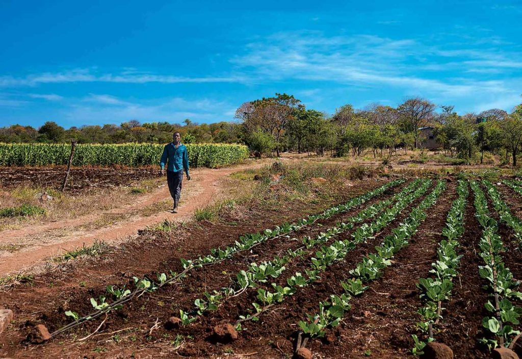 Drip-irrigated cabbage and corn thrive at Tapiwa Farm.